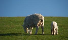 New Zealand sheep and lamb Stock Photos