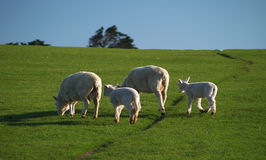 New Zealand sheep and lambs Stock Images