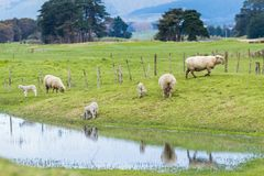 New Zealand Sheep and Lambs. Srping New Zealand sheep and their lambs by a pond stock photos