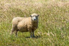 New Zealand sheep in the meadow Stock Photo