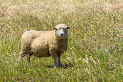 New Zealand sheep in the meadow Stock Image