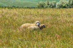 New Zealand sheep Stock Photos