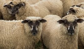New Zealand Sheep. New Zealand young sheep tht have dark faces Stock Photography