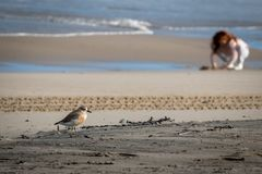 New Zealand shore bird the Northern Dotterel endangered by human disturbance of habitat particularly dogs and off road vehicles. New Zealand shore bird the royalty free stock images