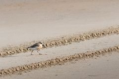 New Zealand shore bird the Northern Dotterel endangered by human disturbance of habitat particularly dogs and off road vehicles. New Zealand shore bird the stock images