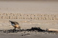 New Zealand shore bird the Northern Dotterel endangered by human disturbance of habitat particularly dogs and off road vehicles. New Zealand shore bird the stock photo