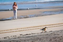 New Zealand shore bird the Northern Dotterel endangered by human disturbance of habitat particularly dogs and off road vehicles. New Zealand shore bird the stock photography