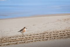 New Zealand shore bird the Northern Dotterel endangered by human disturbance of habitat particularly dogs and off road vehicles. New Zealand shore bird the royalty free stock photos