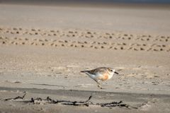 New Zealand shore bird the Northern Dotterel endangered by human disturbance of habitat particularly dogs and off road vehicles. New Zealand shore bird the royalty free stock photography