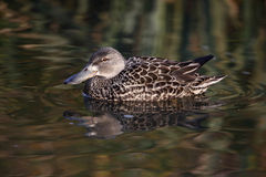 New Zealand shoveler, Anas rhynchotis variegata Royalty Free Stock Photos