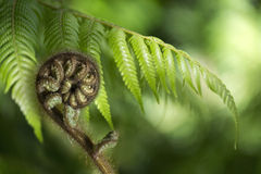New Zealand fern Koru. New Zealand silver fern (koru) unfurling on the green blurred background. The koru is an iconic symbol, it represents the unfolding of new royalty free stock photography