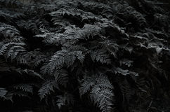 New zealand silver fern Royalty Free Stock Photo