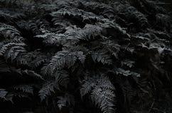 New zealand silver fern Royalty Free Stock Photo