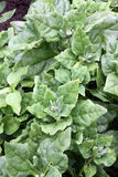 New Zealand spinach Royalty Free Stock Images