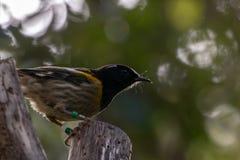 Hihi Bird, New Zealand, Forest Backdrop. New Zealand Stitchbird / Hihi in native maori, Notiomystis cincta stock photography