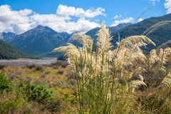 New Zealand summer landscape with Toetoe grass and mountains in. New Zealand summer landscape with native Austroderia grass commonly known as toetoe and mountain stock image