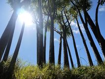 New Zealand: sunlit native cabbage trees Royalty Free Stock Images