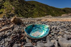 Paua / Abalone Shell On NZ Rock Beach royalty free stock images