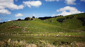 New Zealand. Taken on the North Island of New Zealand, fields of sheep are a common feature Royalty Free Stock Photos