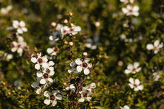 New Zealand teatree in bloom Royalty Free Stock Images