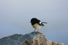 New Zealand Tomtit. An image of the native New Zealand Bird, the South Island Robin/Tomtit Stock Photos