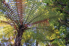 New Zealand Tree Fern Stock Images