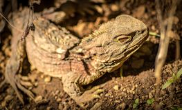 New Zealand Tuatara. Endangered and ancient reptile, the tuatara is a unique new zealand creature. tuatara while hatch lings have a third eye that becomes less Stock Photography