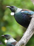New Zealand Tui bird. Tui bird, endemic to New Zealand, perched on a branch Royalty Free Stock Photo