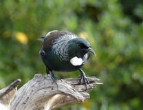 New Zealand Tui bird. Native New Zealand tui bird with colourful feathers Stock Image