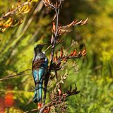 New Zealand Tui on a flax plant royalty free stock photos