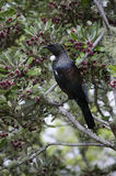New Zealand Tui Royalty Free Stock Photos