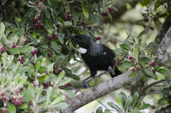 New Zealand Tui Stock Images