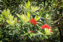 New Zealand Tui In Puhutukawa. New Zealand Tui Drinks From Puhutukawa Flowers in early Summer royalty free stock photo