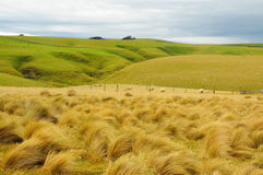 New zealand tussock Stock Images