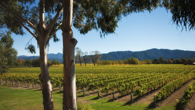 New zealand vineyard Stock Images
