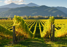 New Zealand vineyard. Vineyard in the Wairua valley, South Island of New Zealand Royalty Free Stock Images