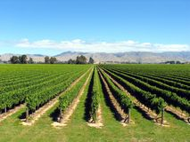 New Zealand Vineyard. Vinayard Orchard In New Zealand Royalty Free Stock Photo
