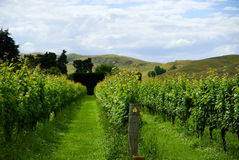 New Zealand Vineyard Stock Photos