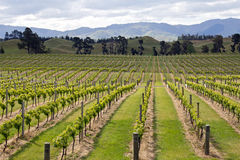 New zealand, vineyard at marlborough county Royalty Free Stock Photo
