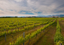 New zealand vineyard overview. With hills backdrop Royalty Free Stock Photo