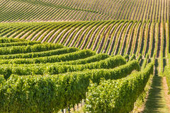 New Zealand vineyard on rolling hills Royalty Free Stock Photography
