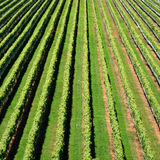 New Zealand Vineyard. Rows of grapevines in a New Zealand Vineyard Royalty Free Stock Photo