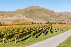 New Zealand vineyards in autumn colours. Aerial view of New Zealand vineyards in autumn colours stock photography