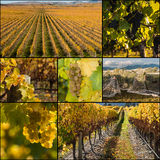 New Zealand vineyards at harvest time Royalty Free Stock Images