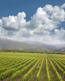New Zealand - vineyards Royalty Free Stock Photography