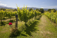 New Zealand - vineyards Stock Photos