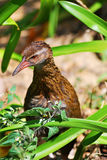 New Zealand Weka Stock Photo