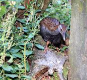New Zealand Weka (Gallirallus australis). The Weka or woodhen (Gallirallus australis) is a flightless bird species of the rail family. It is endemic to New Royalty Free Stock Photo