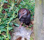 New Zealand Weka (Gallirallus australis). The Weka or woodhen (Gallirallus australis) is a flightless bird species of the rail family. It is endemic to New royalty free stock image