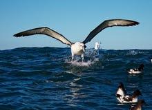 New Zealand White-capped Albatross splashing down, Kaikoura, New Zealand stock photo